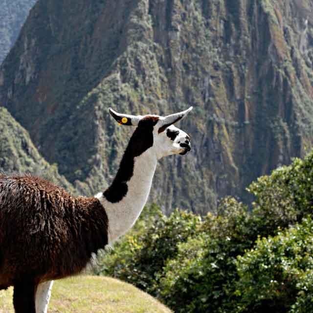lama voyage au Pérou Machu Picchu - Circuit guidé Bolivie et Pérou - Escale Cuzco et Machu Picchu