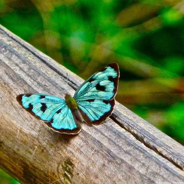 Voyage en Argentine - Papillon aux chutes d'Iguazu
