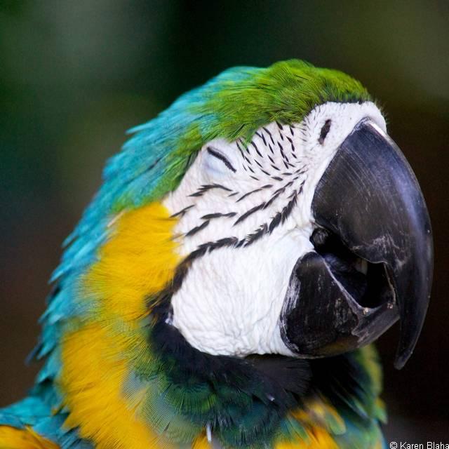 Voyage Amérique Latine - Perroquet