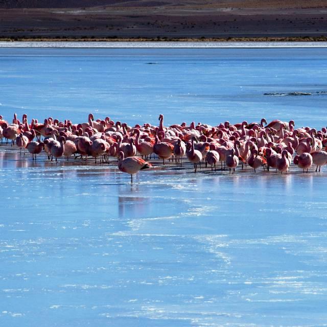 Flamand rose sur la lagune , Salar d'Uyuni, Bolivie