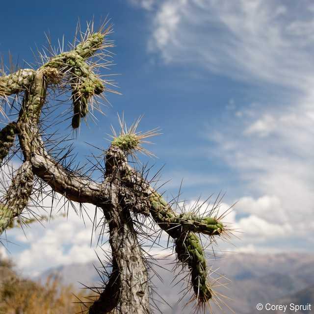 Voyage au Pérou - Cactus