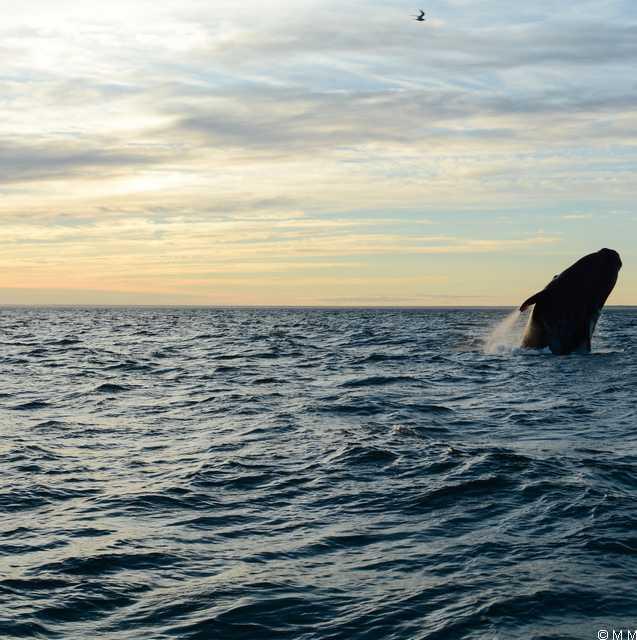 Séjour en Patagonie - Baleine