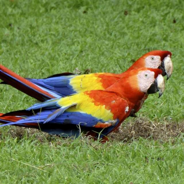 Voyage au Guatemala - Perroquet