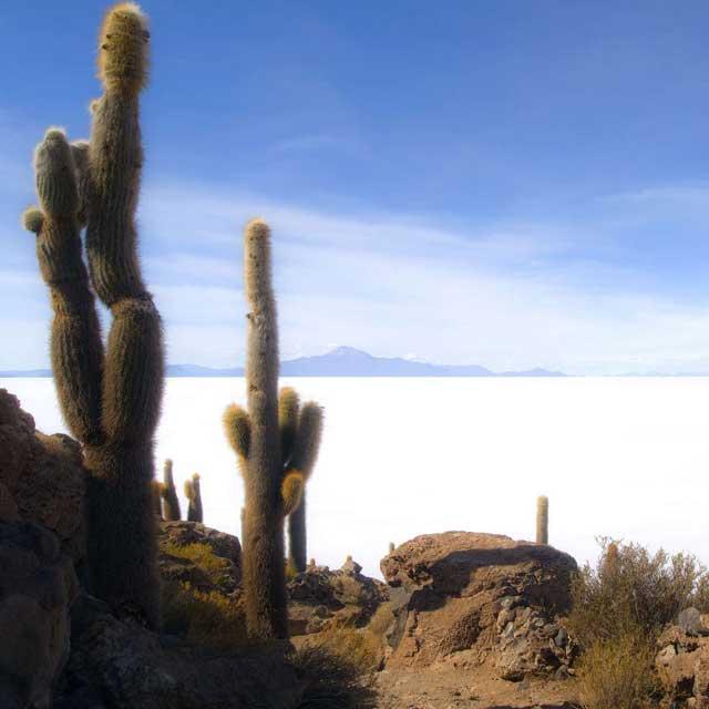 Cactus sur l'ile incahuasi, Salar d'Uyuni, Bolivie