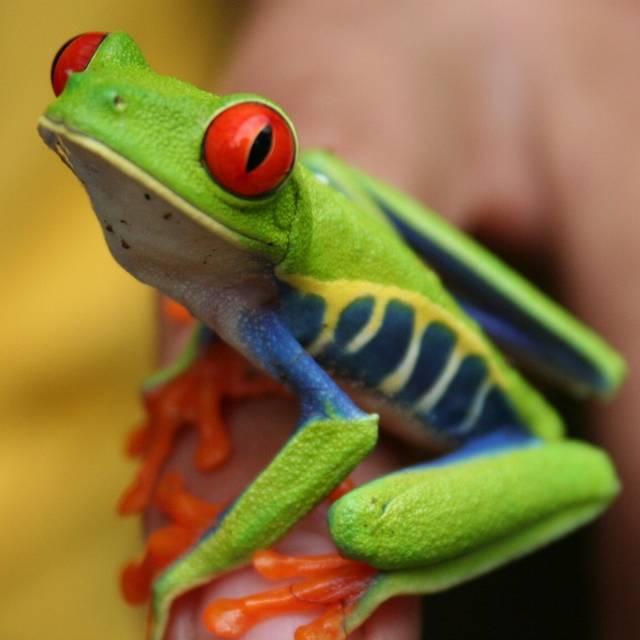 Voyage au Costa Rica - Grenouille - Autotour au Costa Rica