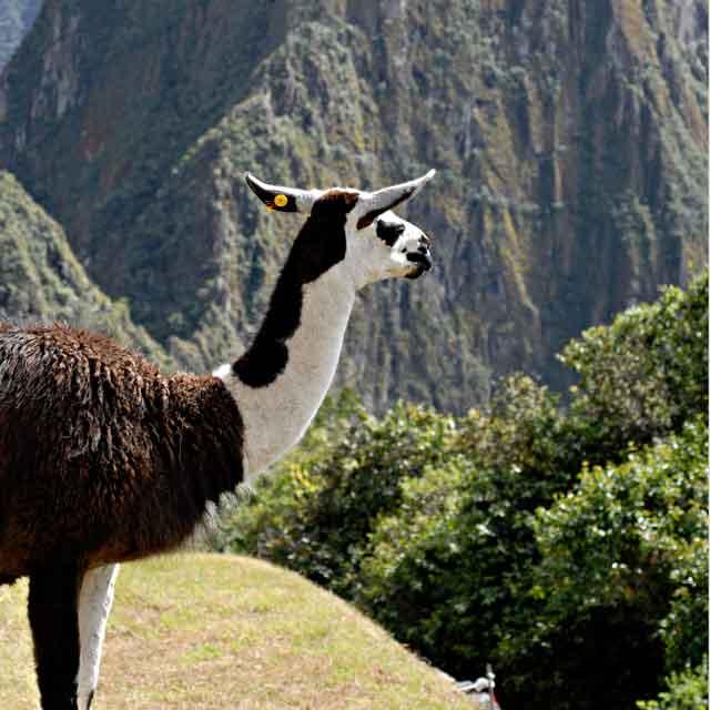 Lama Machu Picchu, Pérou