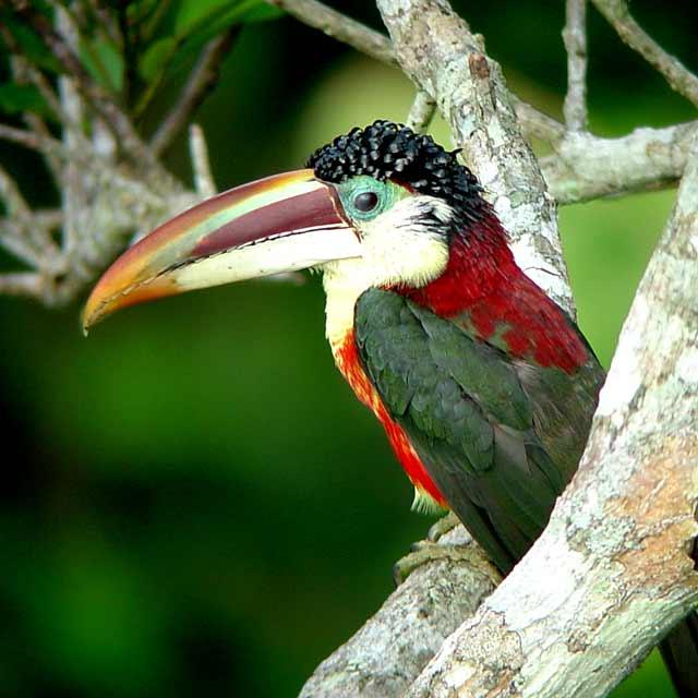 Lodge Brésil - Observation des oiseaux Aracaris au Cristalino Jungle Lodge, Voyage au Brésil