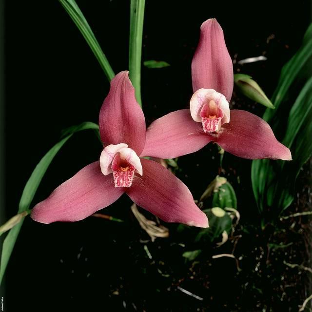Voyage au Guatemala - Orchidée