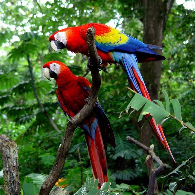 Voyage au Costa Rica - Perroquet - Autotour au Costa Rica