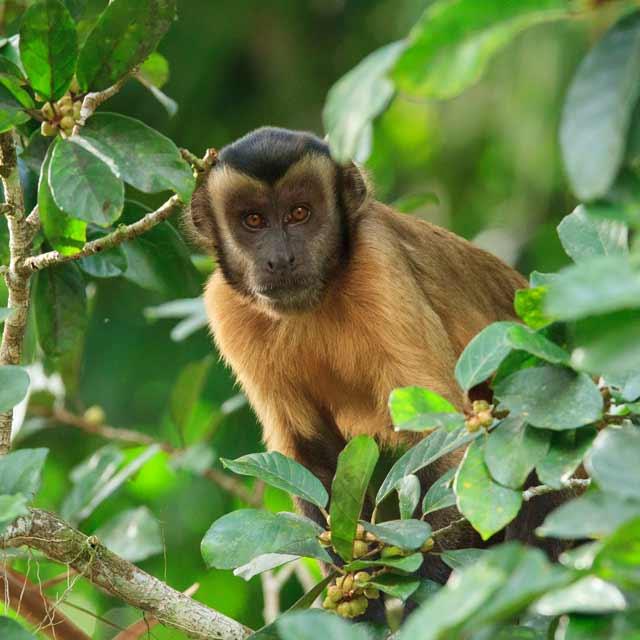 Lodge Brésil - Observation des capucins au Cristalino Jungle Lodge, Voyage au Brésil