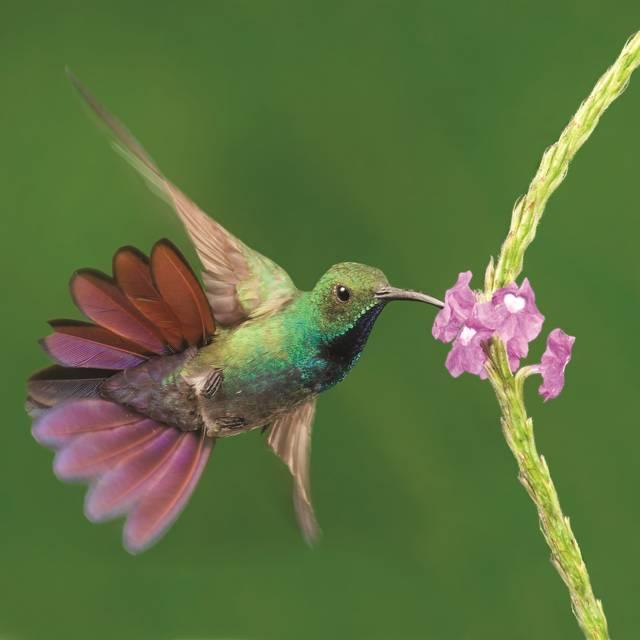 Autotour au Costa Rica - Colibri