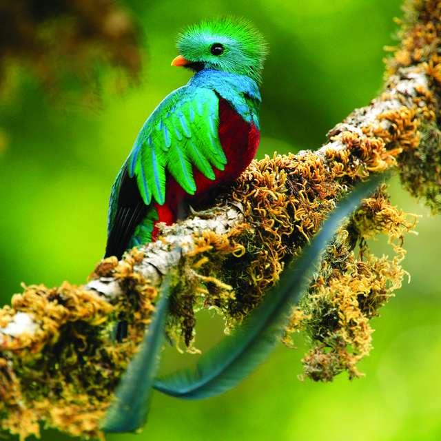Quetzal oiseau Costa Rica