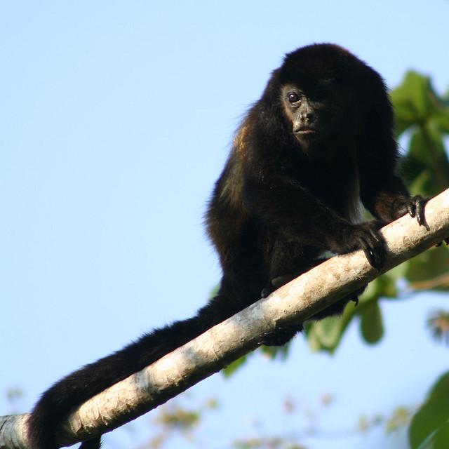 Singe hurleur, Nicaragua
