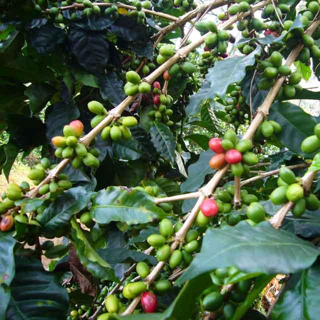 Autotour au Costa Rica - Café, costa rica