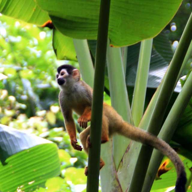Voyage en groupe au Costa Rica - Singe, parc du Corcovado