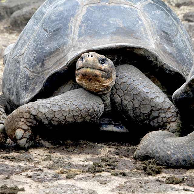 Tortue géante - Archipel des Galapagos - Voyage Galapagos Equateur