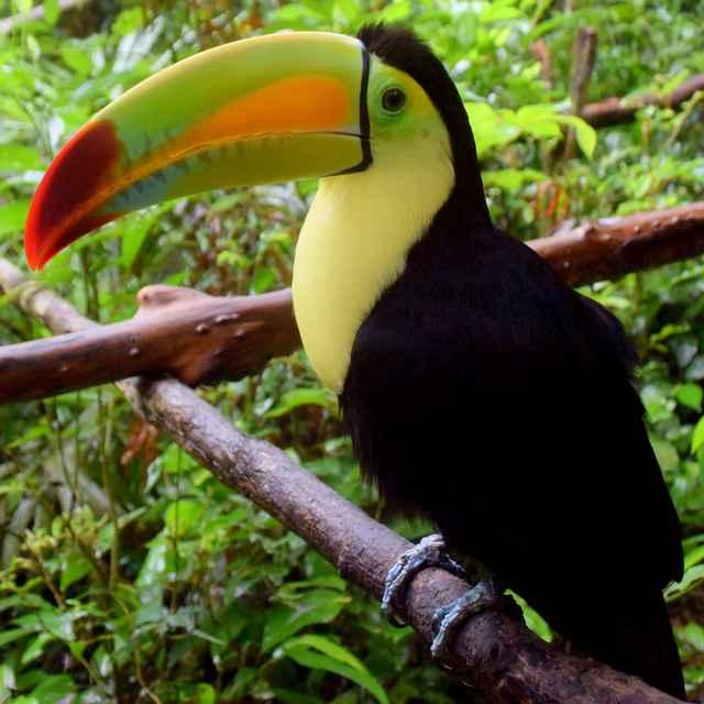 Voyage au Belize - Toucan