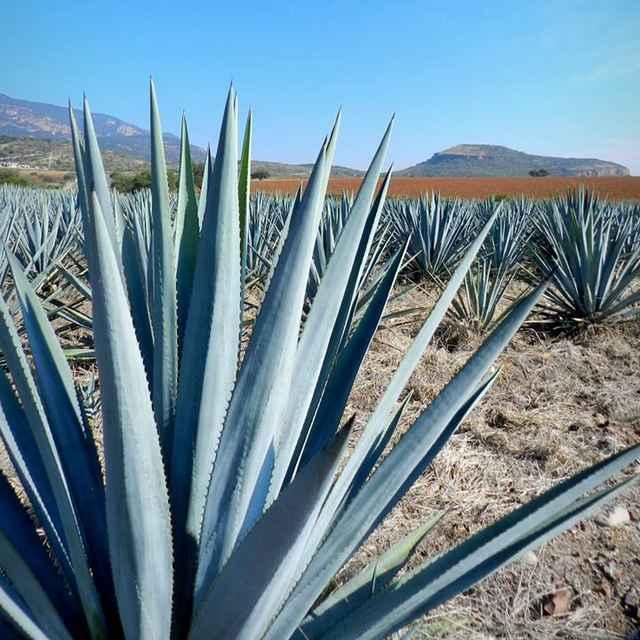 roadtrip au Mexique - Agave, tequila