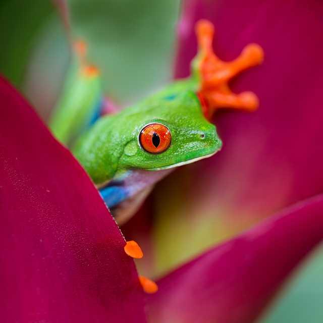 Voyage au Costa Rica en famille - Grenouille