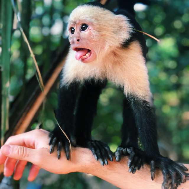 Voyage au Costa Rica en famille - Singe