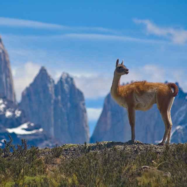 Voyage en Patagonie - Guanaco